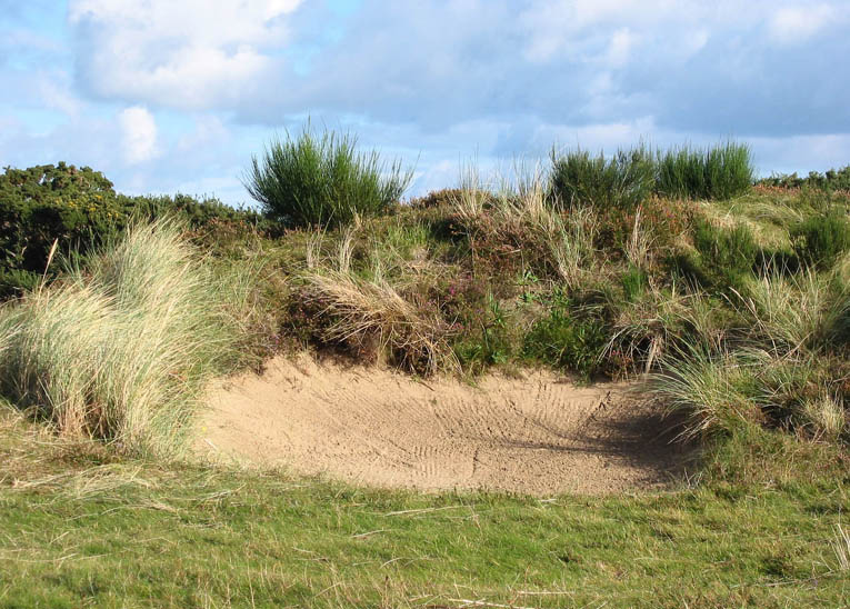 The bunkers at Royal County Down are fringed with a variety of native plant materials to wonderful effect.
