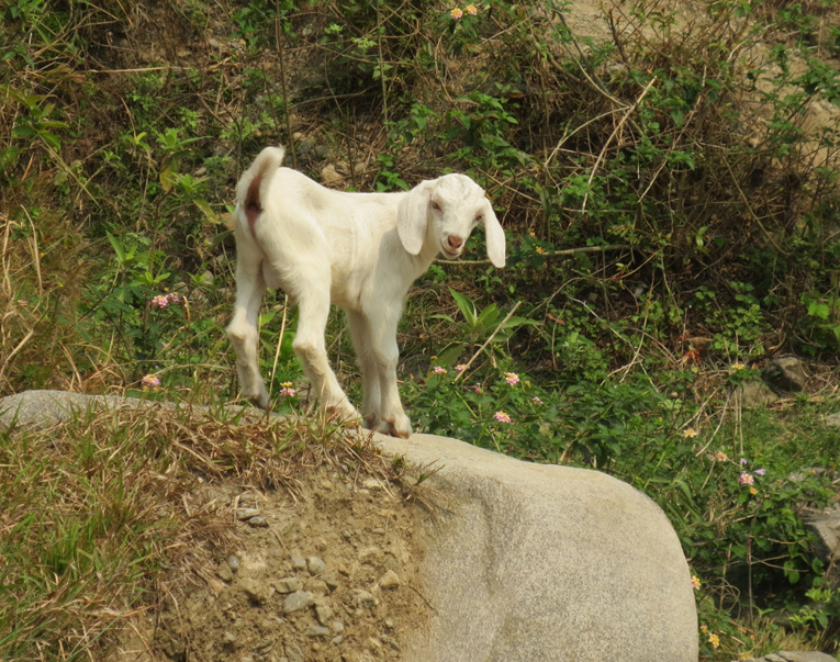 While descending into the canyon after the tee shot on the 3rd hole, the golfer does not think twice about coming across this goat, as the goat is perfectly at home at this dramatic site.