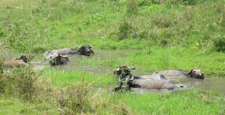 Not your typical parkland course: A pushed tee shot on the 13th may find water buffalo.